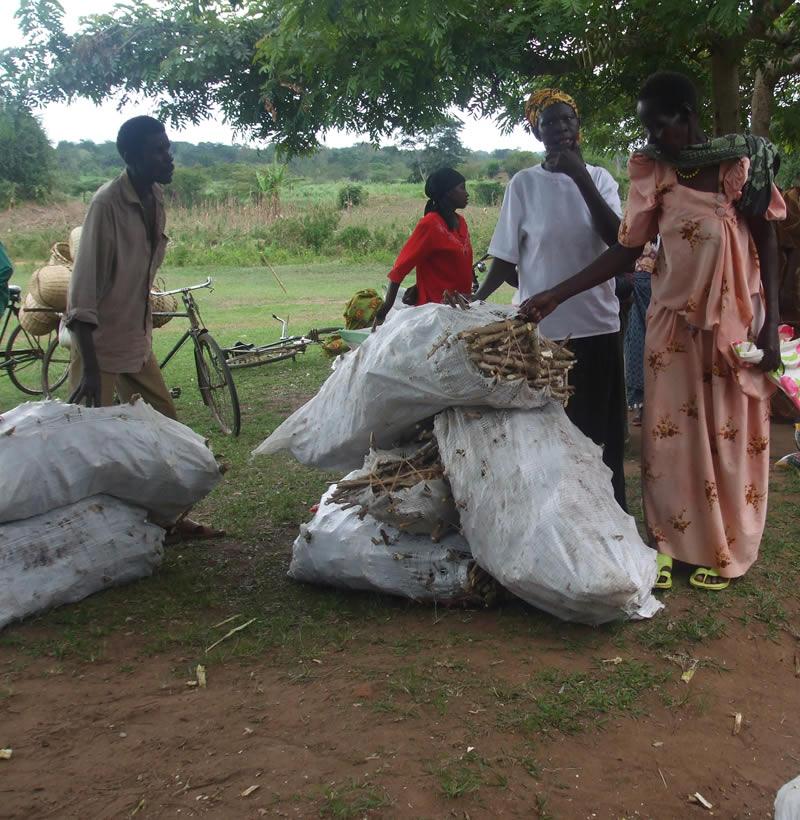 Banana cuttings distributed by ACARA